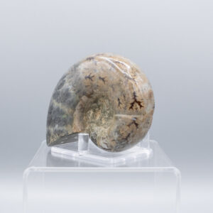 whole ammonite fossils