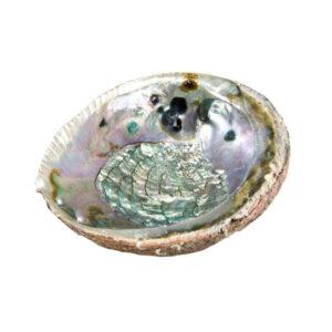 abalone shell medium